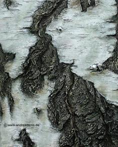 Rinde der Hängebirke Betula Pendula (Detail)